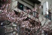 2012年の桜 2