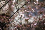 2012年の桜 3