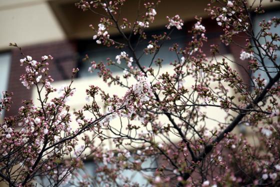 2012年の桜 4