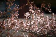 2012年の桜 5