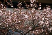 2012年の桜 6