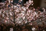 2012年の桜 7