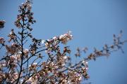 2012年の桜 8