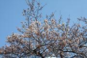 2012年の桜 9