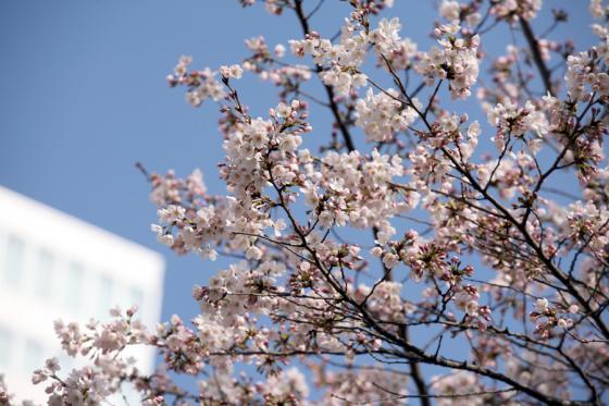 2012年の桜 10