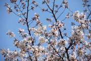 2012年の桜 11