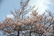 2012年の桜 12