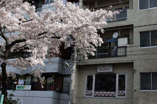 2009年の桜 1