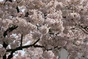 2009年の桜 4