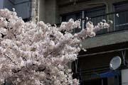 2009年の桜 5