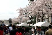 2009年の桜 12