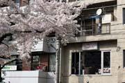 2009年の桜 13