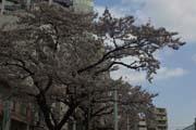 2010年の桜 1