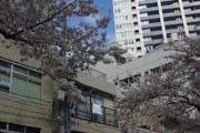 2010年の桜 3