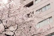 2010年の桜 5