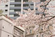 2010年の桜 6