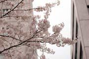 2010年の桜 7