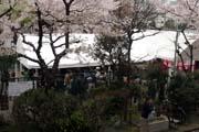 2010年の桜 8